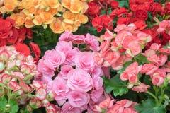 De achtergrond van de begoniabloem Royalty-vrije Stock Fotografie