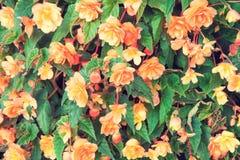 De achtergrond van de begoniabloem Stock Afbeeldingen