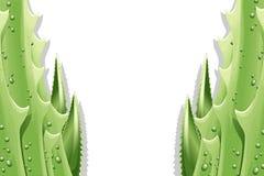 De Achtergrond van de Bladeren van het aloë Royalty-vrije Stock Foto
