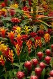 De achtergrond van de bloem. Bromelia Stock Afbeelding