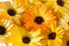 De achtergrond van de bloem (calendula) Royalty-vrije Stock Foto's