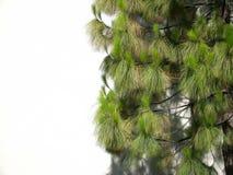 De Achtergrond van de Boom van de pijnboom Stock Foto's