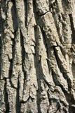 De Achtergrond van de boomschors Stock Afbeeldingen