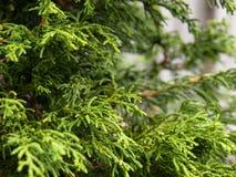 De Achtergrond van de ceder Royalty-vrije Stock Foto's