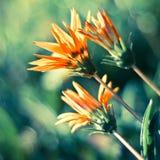 De achtergrond van de chrysant Royalty-vrije Stock Afbeeldingen