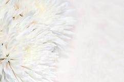 De achtergrond van de chrysant Stock Foto's
