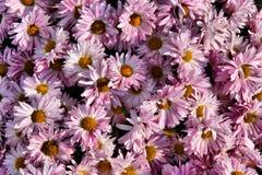 De achtergrond van de chrysant Stock Afbeelding