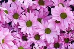 De achtergrond van de chrysantenbloem Royalty-vrije Stock Foto