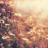 De achtergrond van de de herfstaard met madeliefjesbloemen en zonnestraal Het landschap van het de recente zomerland stock foto's