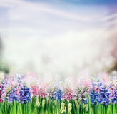 De achtergrond van de de lenteaard met hyacinten bloeiende installatie in tuin of park Stock Fotografie