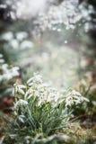 De achtergrond van de de lenteaard met mooie sneeuwklokjesbloemen met bokeh, springt openluchtaardachtergrond in tuin op stock foto