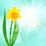 De achtergrond van de de lentekaart met gele narcis en zon Stock Foto's