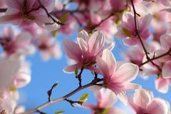 De achtergrond van de de lentemagnolia Stock Afbeeldingen
