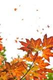 De achtergrond van de esdoornbladeren van de daling Stock Fotografie
