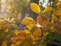 De achtergrond van de esdoornbladeren van de herfst Beeld dat met speciale lens wordt gemaakt Royalty-vrije Stock Foto's