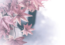 De achtergrond van de esdoornbladeren van de herfst Beeld dat met speciale lens wordt gemaakt rode esdoornbladeren voor achtergro Stock Foto's