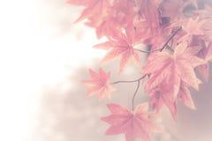 De achtergrond van de esdoornbladeren van de herfst Beeld dat met speciale lens wordt gemaakt rode esdoornbladeren voor achtergro Royalty-vrije Stock Afbeelding