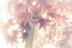 De achtergrond van de esdoornbladeren van de herfst Beeld dat met speciale lens wordt gemaakt rode esdoornbladeren voor achtergro Stock Foto