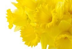 De achtergrond van de gele narcis Stock Fotografie