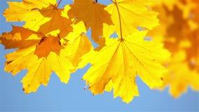 De achtergrond van de herfst met esdoornbladeren stock video
