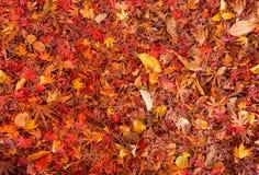 De achtergrond van de herfst met esdoornbladeren Stock Afbeeldingen