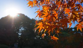 De achtergrond van de herfst met esdoornbladeren Stock Fotografie