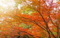 De achtergrond van de herfst met esdoornbladeren Stock Foto's