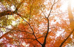 De achtergrond van de herfst met esdoornbladeren Royalty-vrije Stock Fotografie