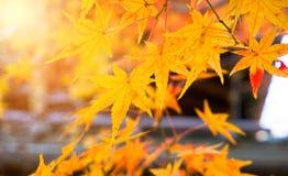 De achtergrond van de herfst met esdoornbladeren Stock Afbeelding