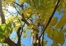 De achtergrond van de herfst Rode en oranje het bladclose-up van de kleurenKlimop Royalty-vrije Stock Afbeelding