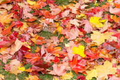 De achtergrond van de herfst Rode en oranje het bladclose-up van de kleurenKlimop Rode esdoornbladeren Royalty-vrije Stock Afbeelding