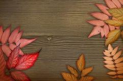 De achtergrond van de herfst Rode en oranje het bladclose-up van de kleurenKlimop Rode herfstbladeren op de donkere bruine houten Stock Afbeeldingen