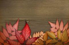 De achtergrond van de herfst Rode en oranje het bladclose-up van de kleurenKlimop Rode herfstbladeren op de donkere bruine houten Stock Foto's