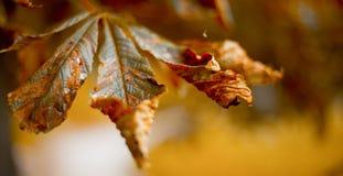 De achtergrond van de herfst Rode en oranje het bladclose-up van de kleurenKlimop Samenvatting Stock Afbeeldingen