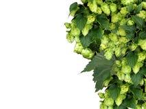 De achtergrond van de hop Stock Foto