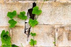 De achtergrond van de kasteelbakstenen muur met groene installatie Stock Fotografie