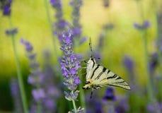 De achtergrond van de lavendel Stock Foto's