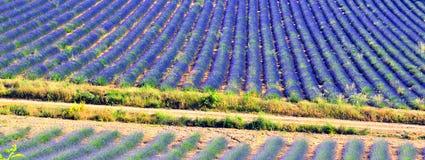 De achtergrond van de lavendel Stock Afbeeldingen