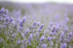 De achtergrond van de lavendel Royalty-vrije Stock Afbeeldingen