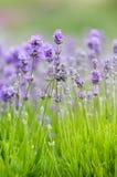 De achtergrond van de lavendel Stock Fotografie