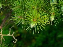 De achtergrond van de pijnboom met kegels Royalty-vrije Stock Foto's