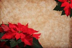 De Achtergrond van de Poinsettia van Kerstmis Stock Afbeeldingen