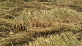 De achtergrond van de rijstinstallatie Royalty-vrije Stock Fotografie