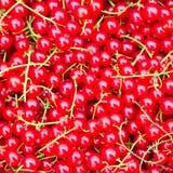 De achtergrond van de rode aalbes Royalty-vrije Stock Foto
