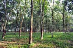 De Achtergrond van de rubberboom Stock Fotografie