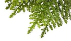 De Achtergrond van de Tak van de kerstboom royalty-vrije stock foto's