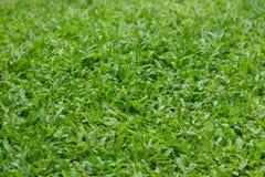 De Achtergrond van de Textuur van het gras Stock Afbeelding
