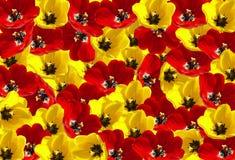 De achtergrond van de tulp Royalty-vrije Stock Foto's