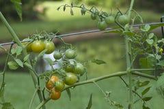 De Achtergrond van de Vijver van tomaten Stock Afbeeldingen