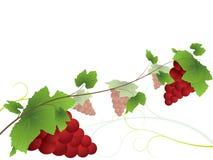 De achtergrond van de wijnstok met rode druiven Vector Illustratie